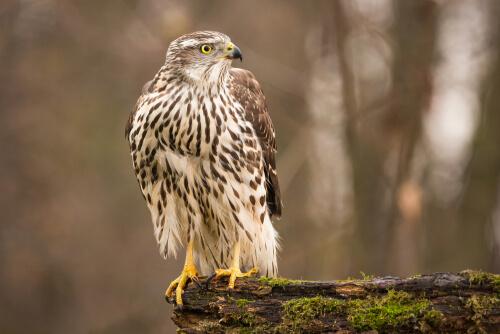 Azor común: hábitat