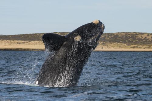 Ballena patagónica
