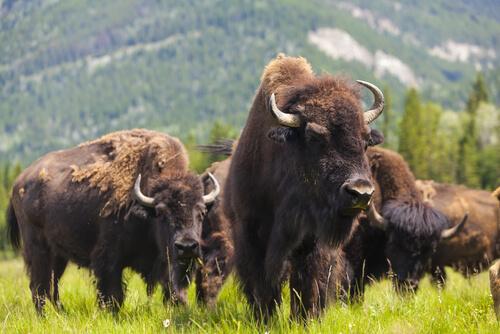 Bisonte americano