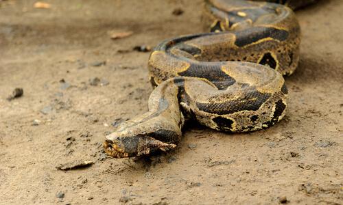 Boa constrictor: características, comportamiento y hábitat