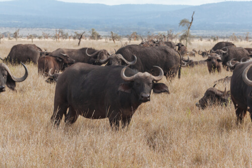 Búfalo: hábitat