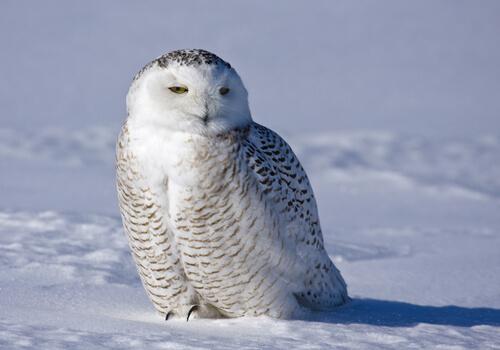 El búho de nieve, un animal majestuoso