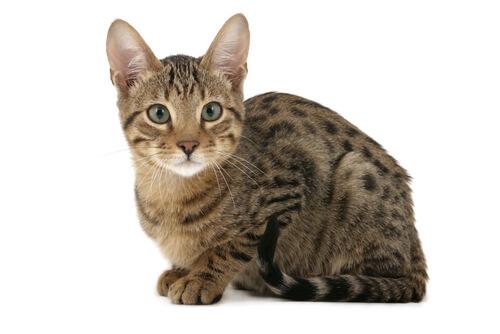 Características del gato Serengeti