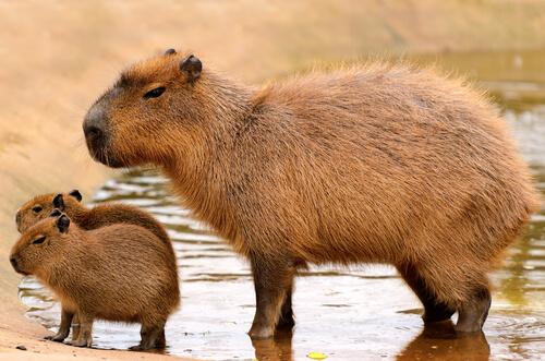 5 especies de roedores más grandes de la fauna