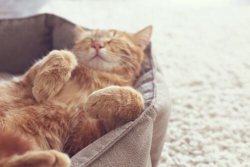 Celo de las gatas: cuánto dura