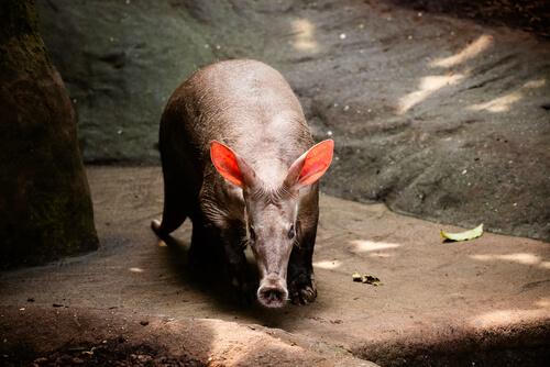 Cerdo hormiguero: características