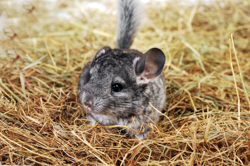 Chinchilla como mascota