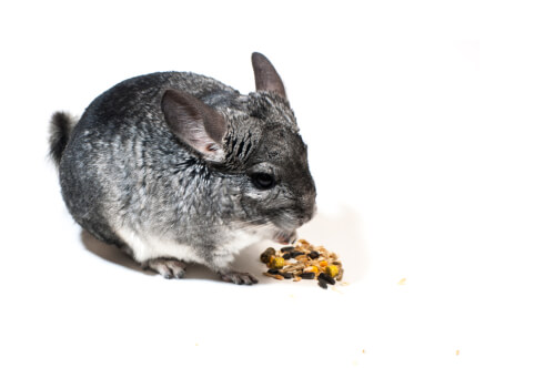 Chinchilla: golosinas