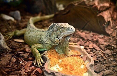 Ciclo de vida de las iguanas