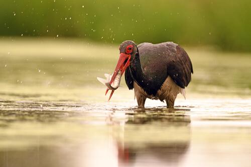 Cigüeña negra: comportamiento