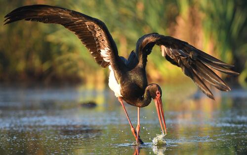 Cigüeña negra: hábitat