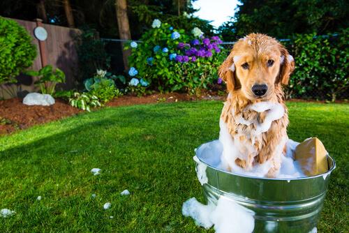 Домашний шампунь для вашей собаки