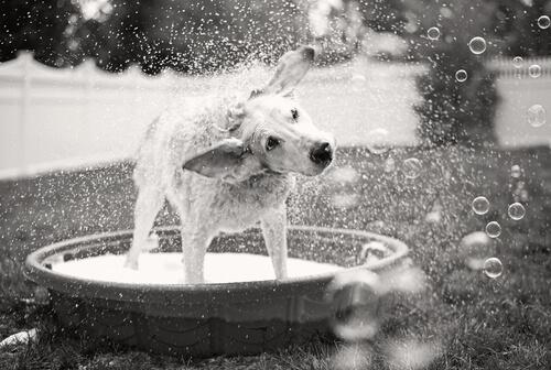 Cómo duchar a tu perro y no morir en el intento