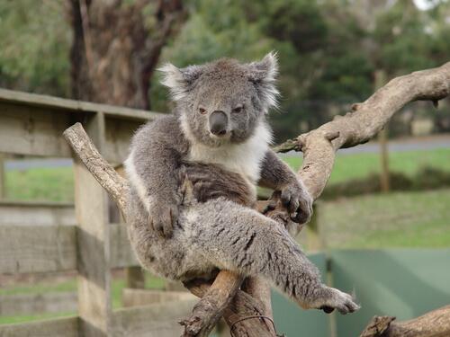 Todo sobre el comportamiento del Koala