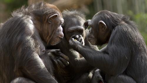 ¿Se puede hablar con monos?