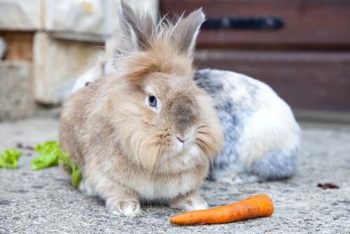 Conejo cabeza de león con una zanahoria
