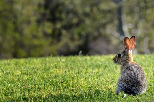 ¿Qué pasó con los conejos en Australia?