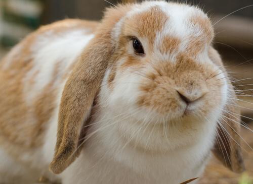 Todo sobre los conejos holland lop