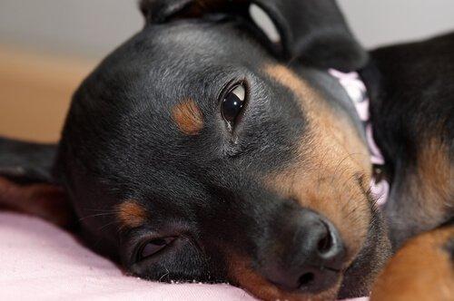 Conjuntivitis en perros: colirio
