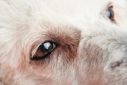 Primeros síntomas de conjuntivitis en perros y qué hacer