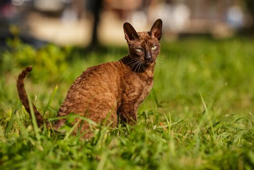 Cornish rex, un gato de pelo ondulado