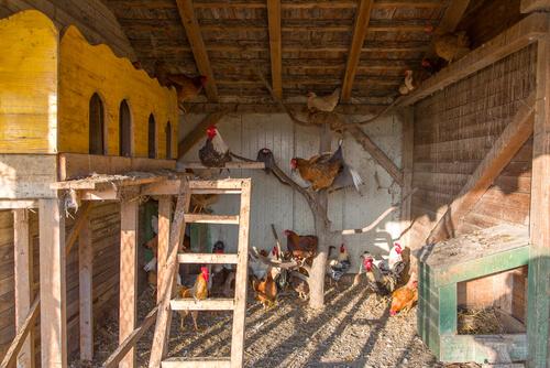 Cuidados del gallinero