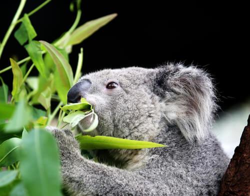 Curiosidades del koala