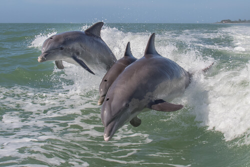 Leaping marine dolphins.