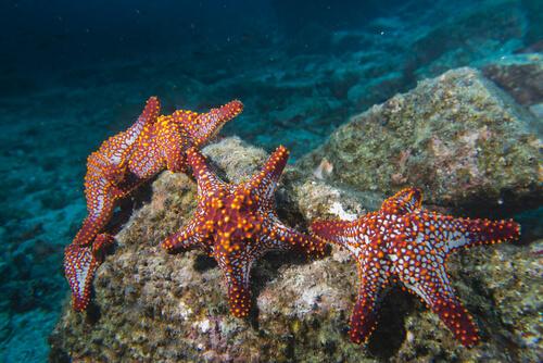 Las Características De La Estrella De Mar Mis Animales