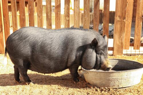Dieta del cerdo vietnamita