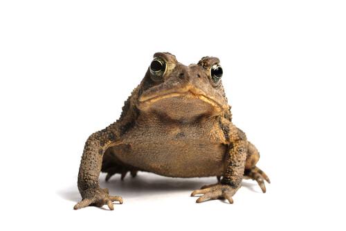 Diferencias entre las ranas y los sapos