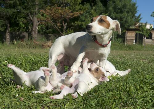 Embarazo y parto de los perros