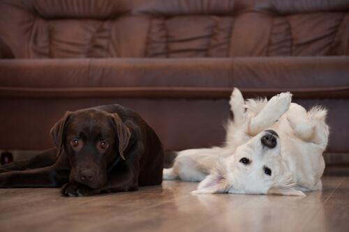 En qué meses mudan de pelo los perros