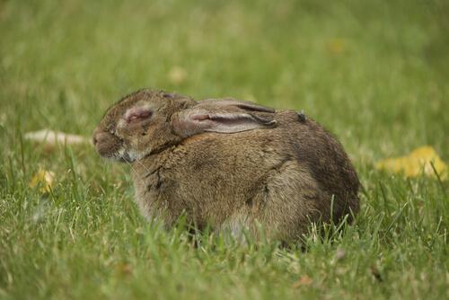 Enfermedad del conejo