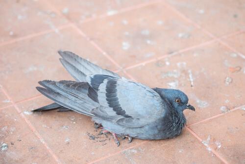 enfermedades que sufren las palomas