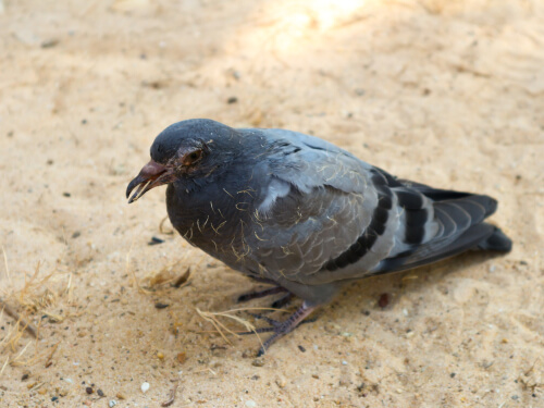 Enfermedades que tienen las palomas