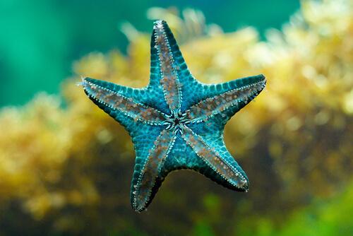 Estrella de mar: fragmentación
