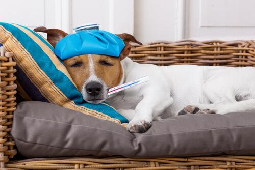 Fiebre en perros: cómo saber