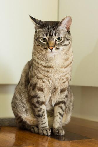 Gato Australian Mist, sociable y maullador