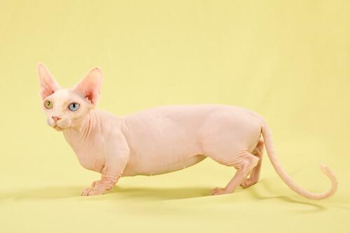 Gato bambino: calvo y con patas cortas