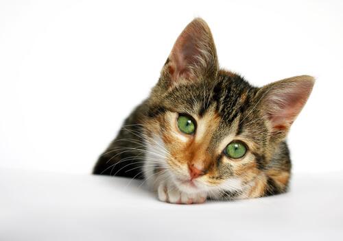 Gato con sida felino