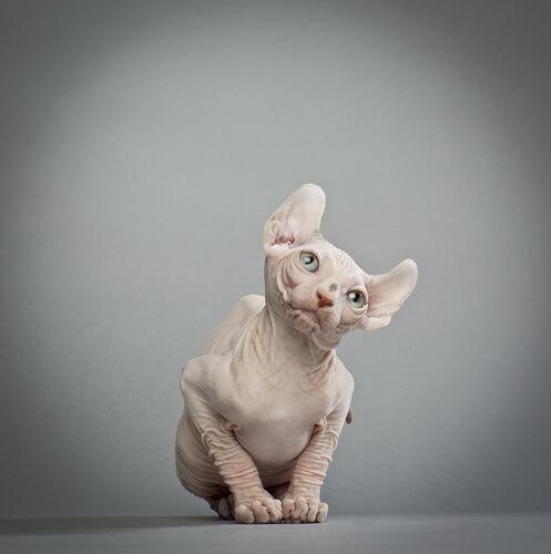 Gato elfo: características