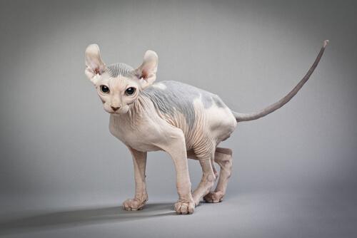 Gato Elfo, el minino calvo de orejas curvas