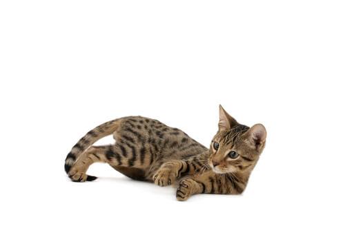 Gato Serengeti tumbado