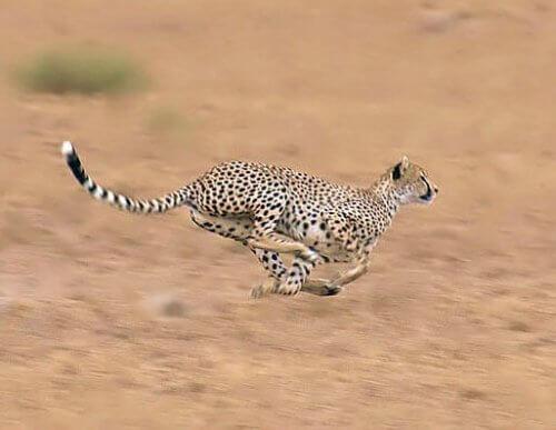 Guepardo: velocidad
