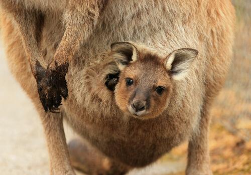 El maravilloso instinto maternal del canguro