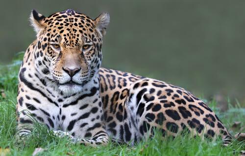 Jaguar: características