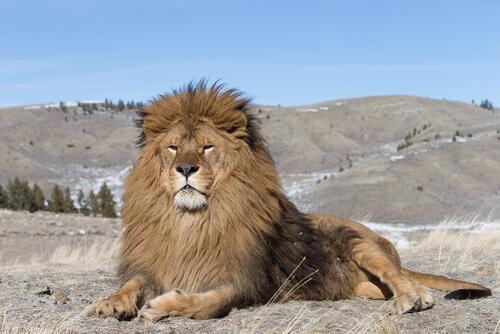 León del Atlas: características