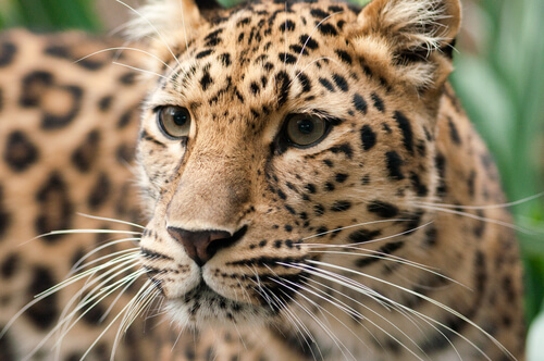 Leopardo de Amur en peligro de extinción