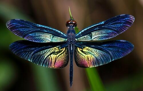 Las libélulas, todo sobre este gran insecto alado